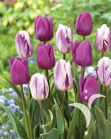 Flaming Flag®